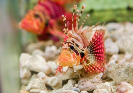 lion fish in a aquarium
