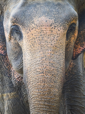 Head portion of Indian Elephant
