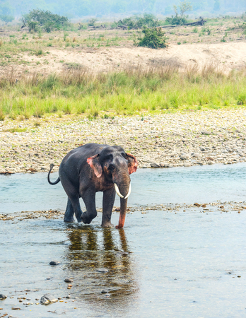 An Asian Elephant crossing mountain stream Stock Photo