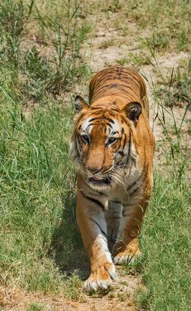 Close up of Royal Bengal tiger