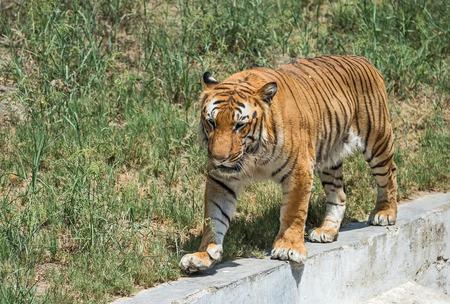 prowling Royal Bengal tiger