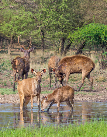 wild life  in Ranthambhore National park, Rajasthan India