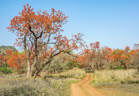 Blooming Flame of forest in Ranthambhore National park