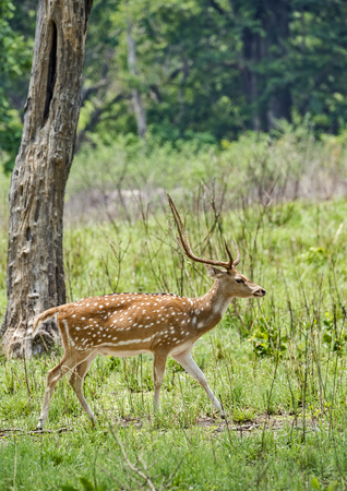 male Spotted Deer Stag in Jim Corbett National Park, India Stock Photo