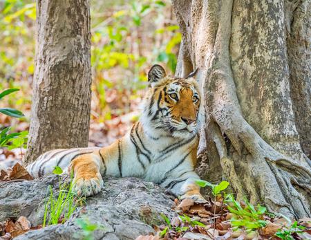 Royal Bengal tiger in  Jim Corbett National park