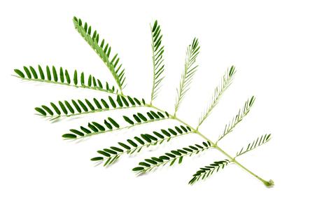Thai local vegetable, Senegalia pennata or Acacia Leucaena or Cha-om (Thai Language) isolate on white background