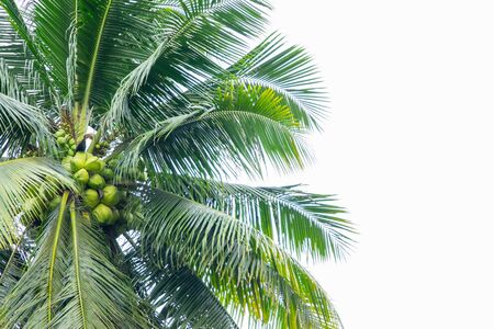 Coconut tree and grassland isolated on white background.