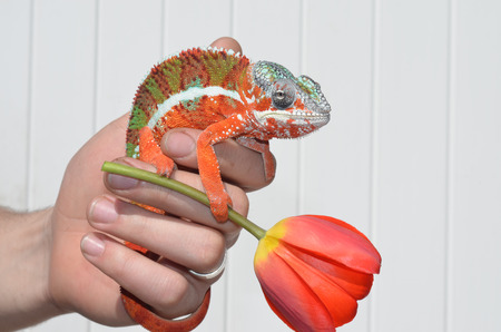 panther chameleon red flower Фото со стока