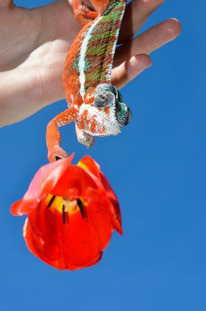 panther chameleon on red flower