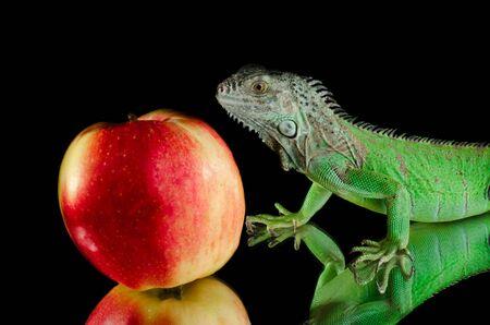 parietal: green iguana on mirror
