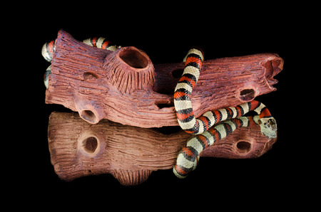 triangulum: Milk snake king snake mirror Stock Photo