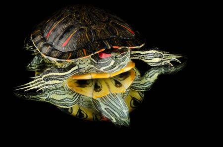 lasting: turtle on mirrror Stock Photo