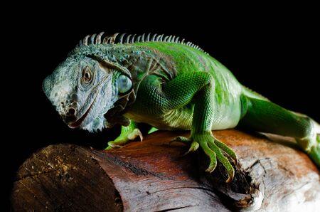 green iguana on the branch Фото со стока