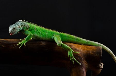 parietal: green iguana on branch