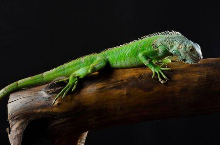 iguana: green iguana on branch