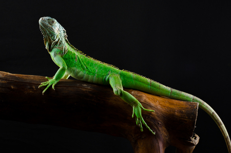 Portrait of a large iguana in the studio