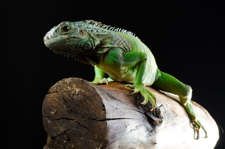 Green iguana poses at the chunk of wood HD