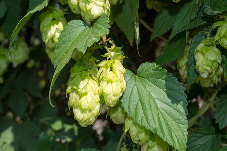 humulus lupulus: Flowers and leaves of hop (Humulus lupulus) Stock Photo