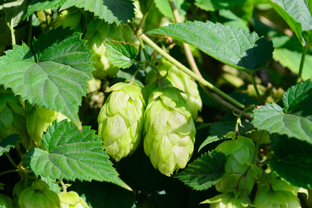 ripened: Ripened hop cones on branch Stock Photo