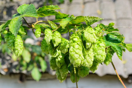 humulus: Ripened hop cones with a dew drops on the branch on a blurred background