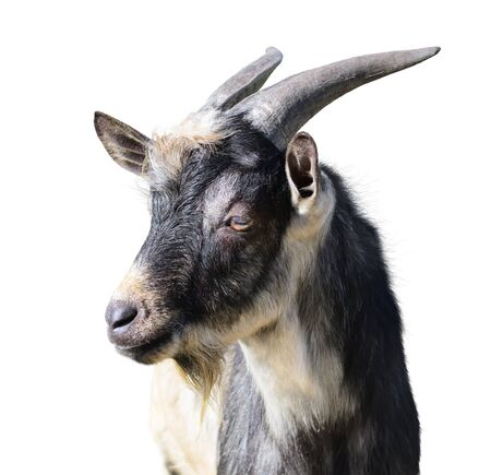 goat: Close-up of a he-goat. Isolated over white background