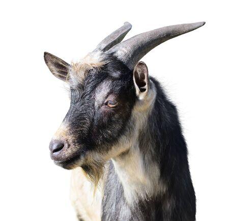 cabra: Primer plano de un macho cabr�o. Aislado sobre fondo blanco Foto de archivo