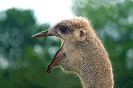 Yawning Ostrich