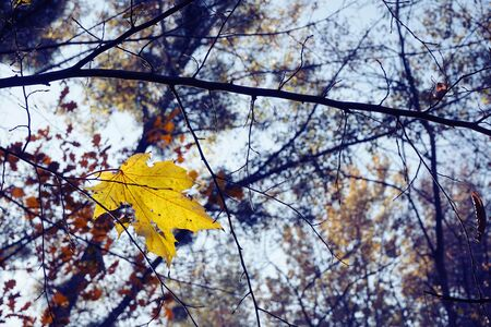 yellowed: Yellowed maple leaf on sky background Stock Photo
