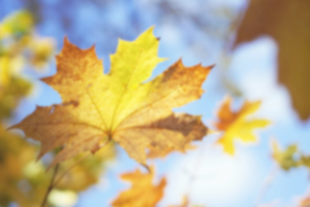Yellowed maple leaf on sky background; blurred background