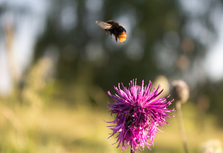 pollination: pollination, bee flies from flower. Stock Photo