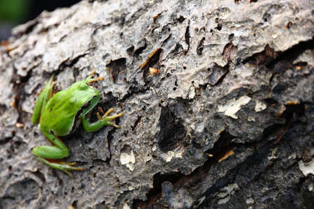 hyla: hyla arborea frog over black
