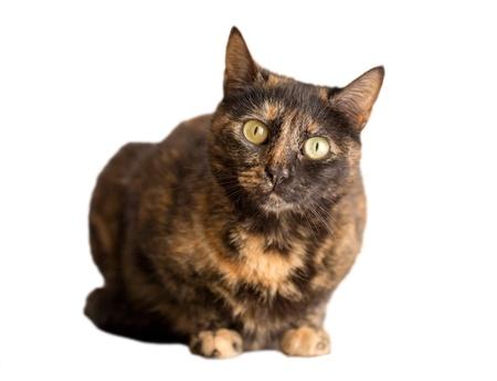 tortoiseshell: tortoiseshell cat