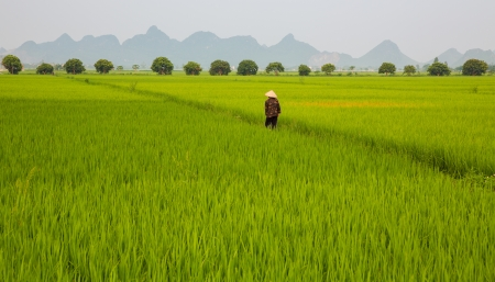 Rice plantation and man Imagens - 15027941