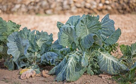 cabbages Stock Photo - 15754016