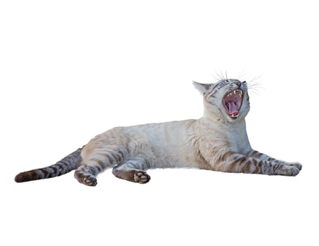Tabby cat roar photo