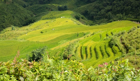 Sapa Rice plantation photo