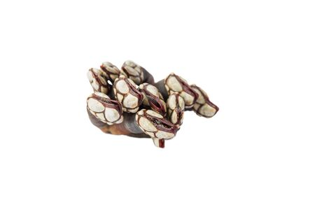 goose barnacles top view photo