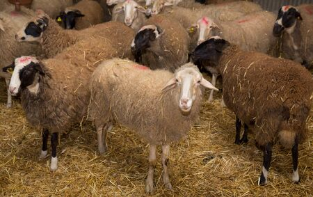 stared: Flock of sheep