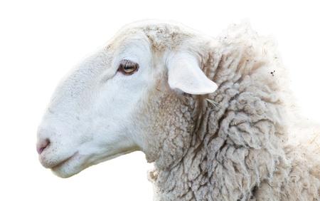 oveja: Ovejas cabeza Foto de archivo