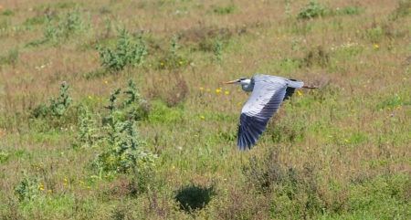 cinerea: Great Grey Heron  Ardea cinerea