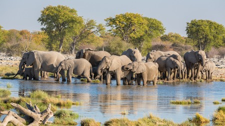 africana: Group of Elephants drink at a waterhole in Etosha Stock Photo