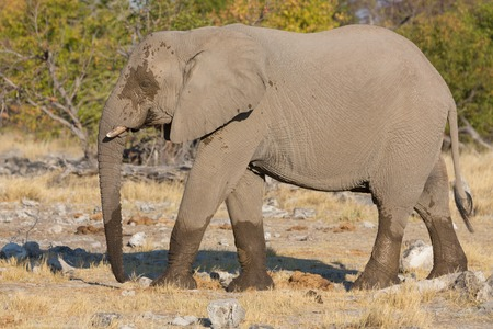 Side view of walking elephant in the savannah in Etosha, Namib photo
