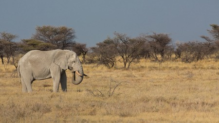 Side view of elephant feeding in Namib photo