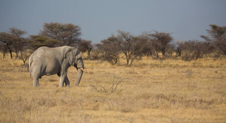 Side view of elephant in Namib photo