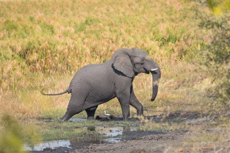 Side view of walking elephant over mud, Namib photo
