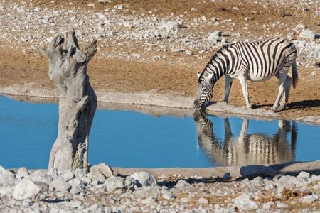 waterhole: Primer punto de vista de una sola cebra en el pozo de agua Foto de archivo