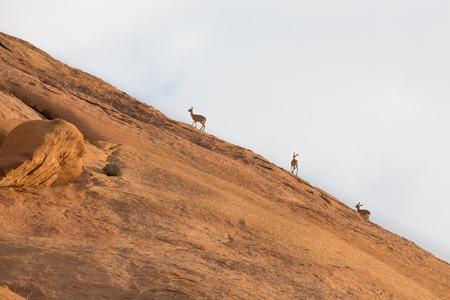 bovidae: Several Klipspringer standing on rocks in spitzkoppe, Namib