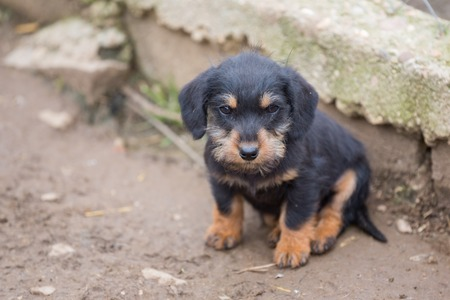Closeup of baby Dachshund with shallow depth of field