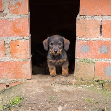 Closeup of baby Dachshund dog at homes door