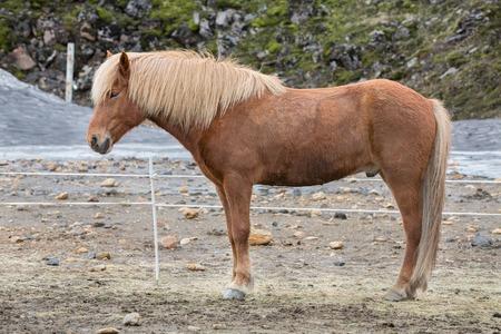 Geïsoleerde IJslandse paarden